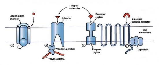 Tipos de Receptores de Membrana - Sinalização Celular