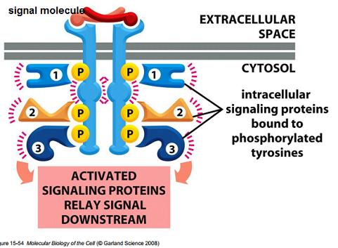 Ativacao de Receptores Tirosina Kinase - Fonte: Molecular Biology of the Cell (Alberts)