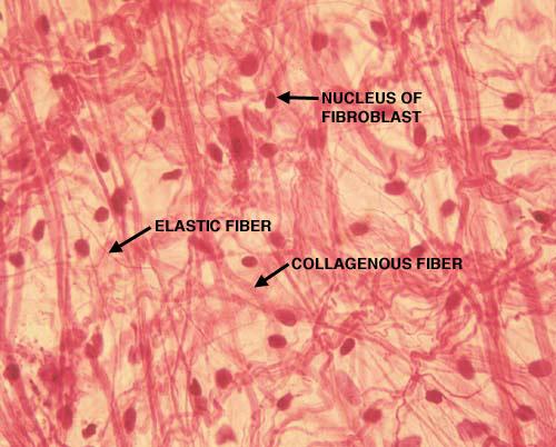 conjuntivo-fibras