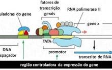 Regulação da Expressão Genética – Transcrição e Tradução RNA, Operons