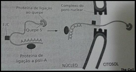 Exportação de RNA do Núcleo para o Citoplasma