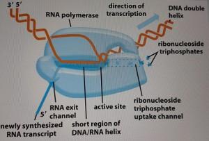 Estrutura e Funcionamento da Enzima RNA Polimerase - Fonte: molecular Biology of The Cell