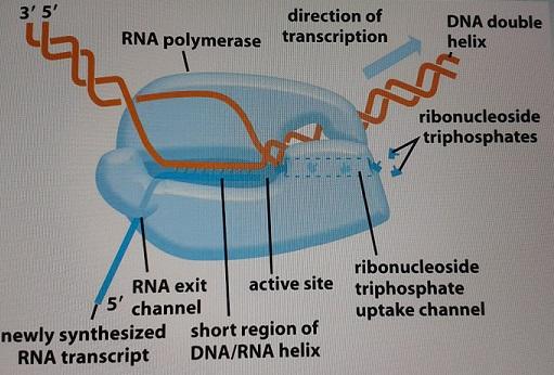 Transcrição de RNA – Fluxo Genético, Polimerases, Splicing Eucariotos