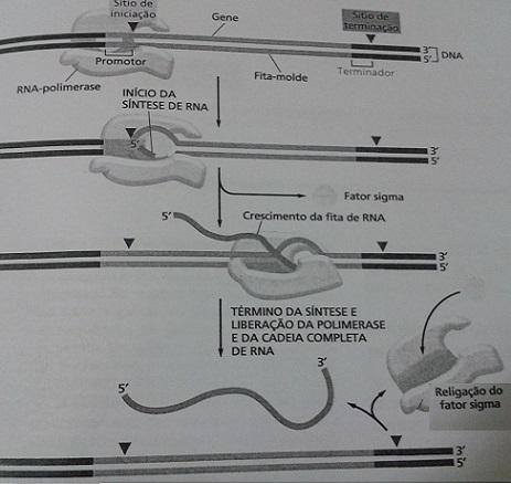 Transcrição RNA - Fonte da Figura: Biologia Molecular (The Cell) de Alberts