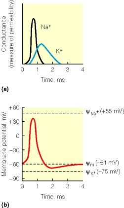 Gráficos dos Potenciais de Equilíbrio na Membrana Celular, Despolarização e Abertura de Canais