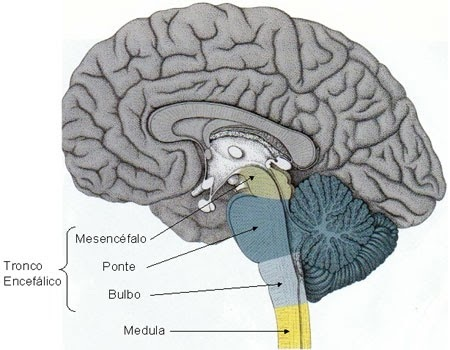 Tronco Encefálico – Neuroanatomia, Núcleos e Cortes Histológicos