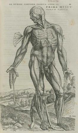 vesalius-dissecção-muscular