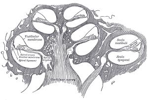 Corte da Cóclea: Órgãos responsável pela transdução sonora